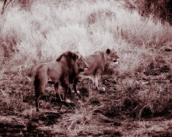 Lions Romance -Fine Art Photography Print - 8x12 - Kruger, South Africa