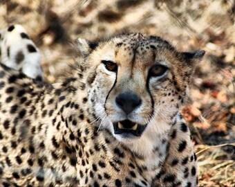 Cheetah Roar -Fine Art Photography Print - 8x12 - Kruger, South Africa