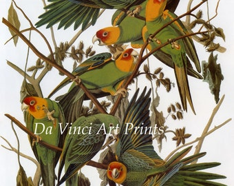 John James Audubon Reproductions - Birds of America, Carolina Parakeet, 1827-1835. Fine Art Print.
