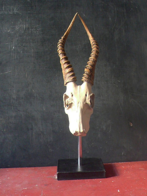Vintage Stand Mounted Full African Impala Skull with Horns. Professionally painted.
