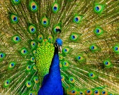 Nature Photography, Fine Art Photography - Bright Green, Bright Blue, Cobalt Blue - Wall Art, Peacock