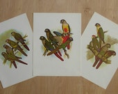 Green Cheek and other Conures. SET of 3 Vintage Book Plate  Bird Illustrations, 9x12