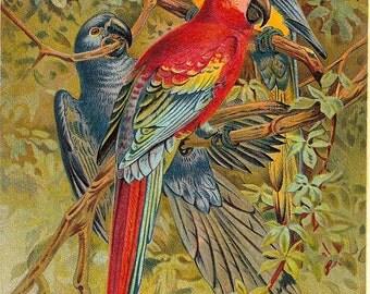 Macaw Original Color Plate
