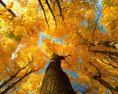 "autumn leaves photo, yellow blue, fall tree, warm tones ""heights of autumn"""