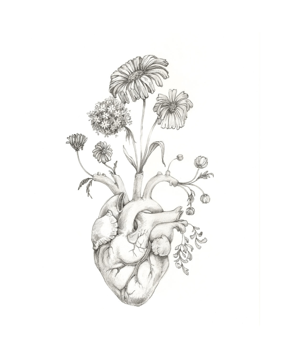 Gallery For gt Heart Anatomy Drawing
