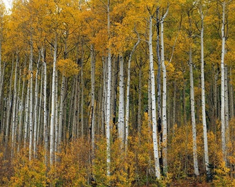 Aspen trees in fall colors fine art photograph print 11x14
