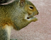 """Grey Squirrel with Popcorn: """"Ready for the Movies"""", Photography Print, Nature Art, Disney, Wildlife, Magic Kingdom"""
