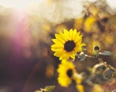 Flower Photography - fine art photography yellow sunflower in the sun photograph original photo prints wall art