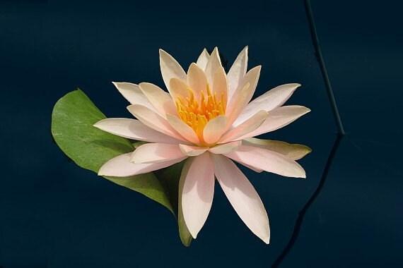 Pink Lotus Floating
