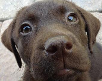 Chocolate Lab Dog Name Custom 8 x 10 Canvas