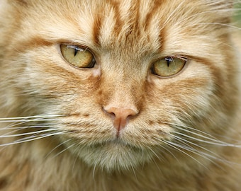 Cat Art Photo, Orange Cat Photo, Animal Photography, 8x10, Animal Close Up, Cat Eyes