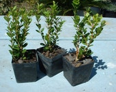 "Wintergreen Boxwood Shrubs 3 Plants Deal 2.5"" Size Plastic Pots"