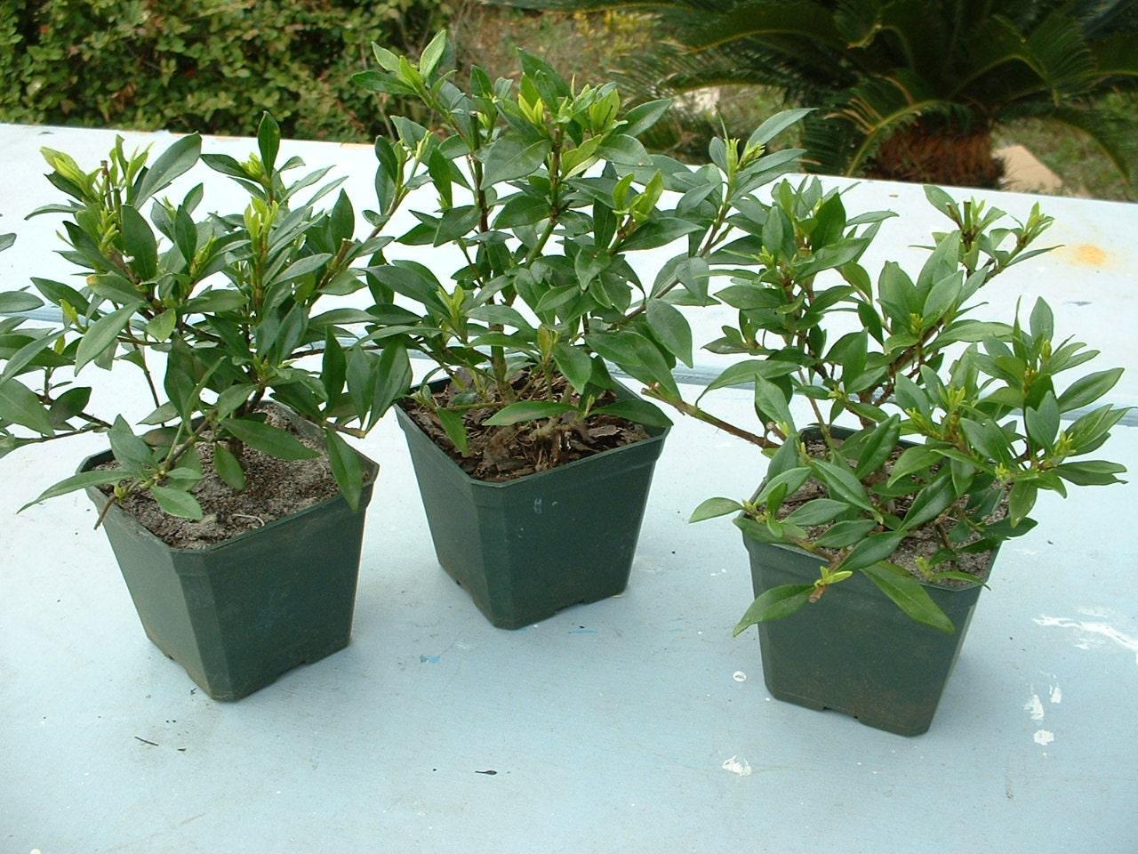 Dwarf Gardenia Jasminoides Radicans 3 Plants