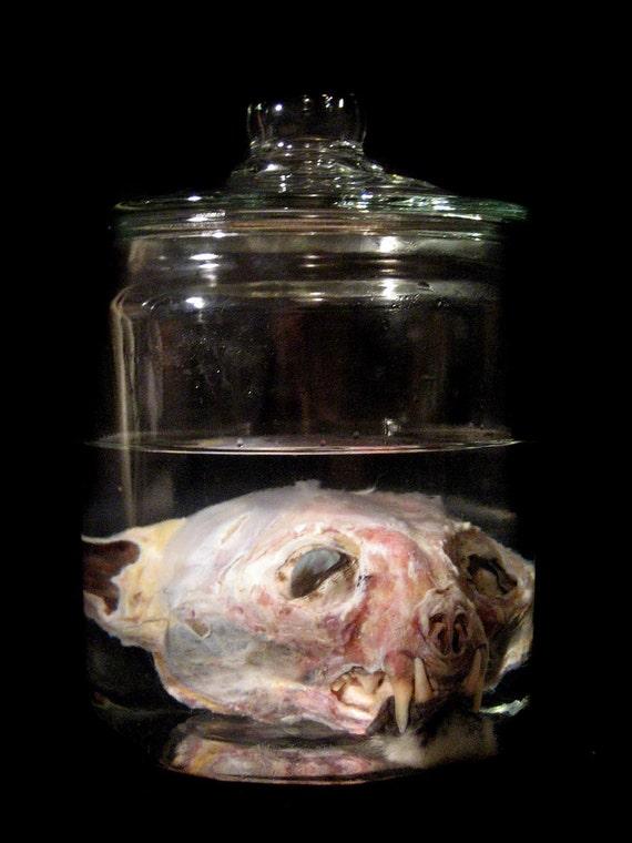 Preserved Bobcat Head Wet Specimen