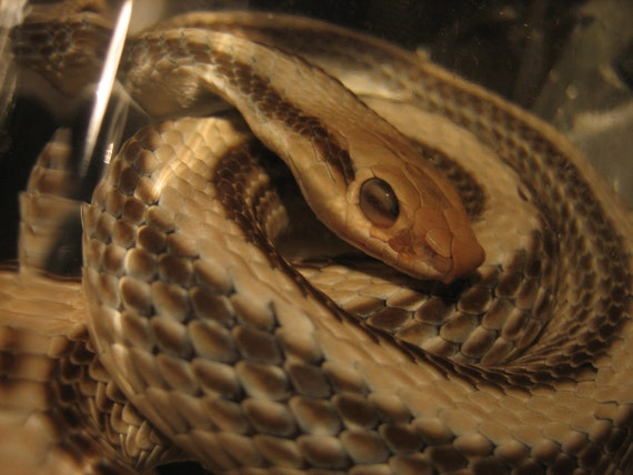 Preserved Beige & Brown Pattern Snake Specimen