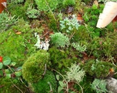 Live Moss lichens and tiny woodland vines and trees-artisan collection-ORGANIC AND NATURAL