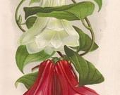 Original Victorian Chromolithograph Lapageria - Chile - Victorian flower picture. c.1895 - NOT reproduction.