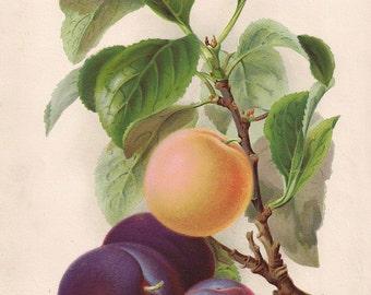 Original Victorian Chromolithograph Print Plums c.1900 Fruit picture - Antique print.