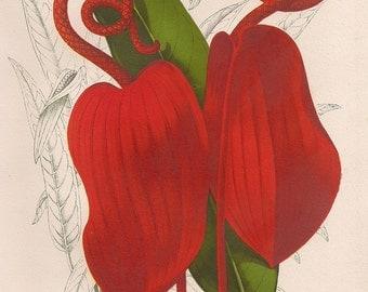 Original Victorian Chromolithograph Red Anthurium Flower Picture print c.1895