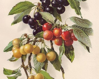 Original Victorian Chromolithograph  Muettler Cherries Early River/Emperor Francis/  Picture print c.1900