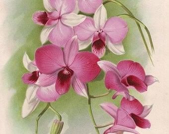 Original Victorian Chromolithograph Dendrobium Phalaenopsis Pink Orchid c.1900 - Antique Flower Print -simular to hand coloured print.