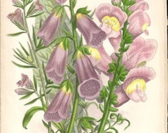 Original Victorian Chromolithograph  Purple Foxglove, lesser Snap Dragons and Great Snap Dragon.c1900