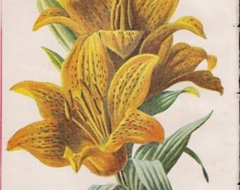 Original Victorian Chromolithograph  Orange Lily - Flower print c. 1900