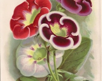 Original Victorian Chromolithograph - Gloxinia - floral print - over 100 years old - Antique.
