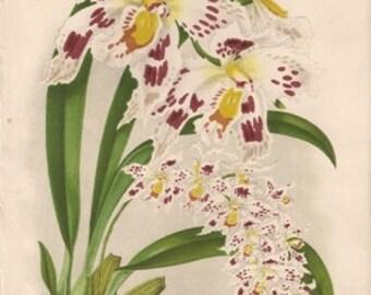 Original Victorian Chromolithograph  - wonderful colour print of Odontoglossum Alexander Orchid - Flower print c. 1880 by W H Fitch.