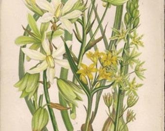 Original Victorian Chromolithograph - Star of Bethlelehem  c1900 Victorian - Edwardian floral print .