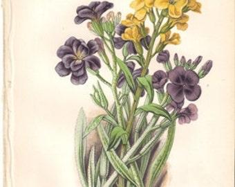 Original Victorian Chromolithograph - Wallflowers and Stocks -  c1900 Victorian - Edwardian floral print .