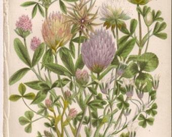 Original Victorian Chromolithograph - Clover -  c1900 Victorian - Edwardian floral print .