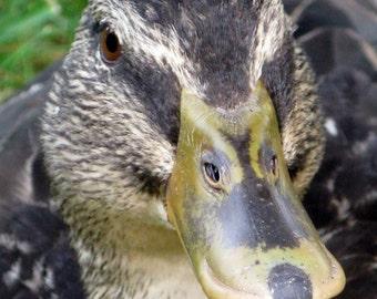 "Female Duck 8""x10"""