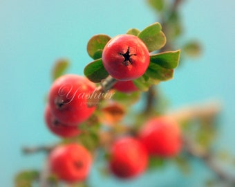 Red berries-  Fine art photography print of red berries, Red and Blue decor.