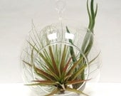 Hanging Air Plant Terrarium Tillandsias in glass globe