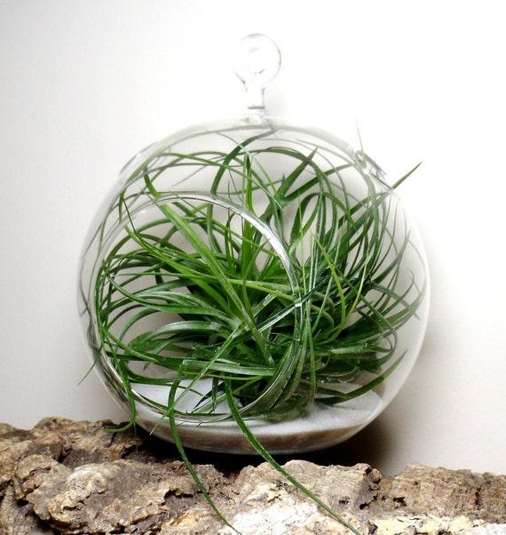Hanging Air Plant Terrarium Tillandsia in Glass Globe
