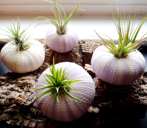 Four Air Plants in Sea Urchin Shells: Set of Four Tillandsia Shell Planters
