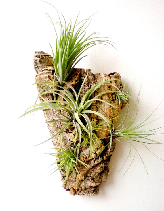 Wall Garden: Air Plants on Sustainable Virgin Cork Bark