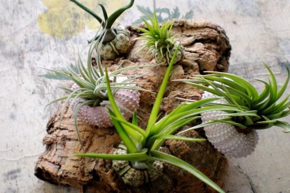 Herbaceous barnacles:  Air plants in Sea Urchin Shells on Cork Bark