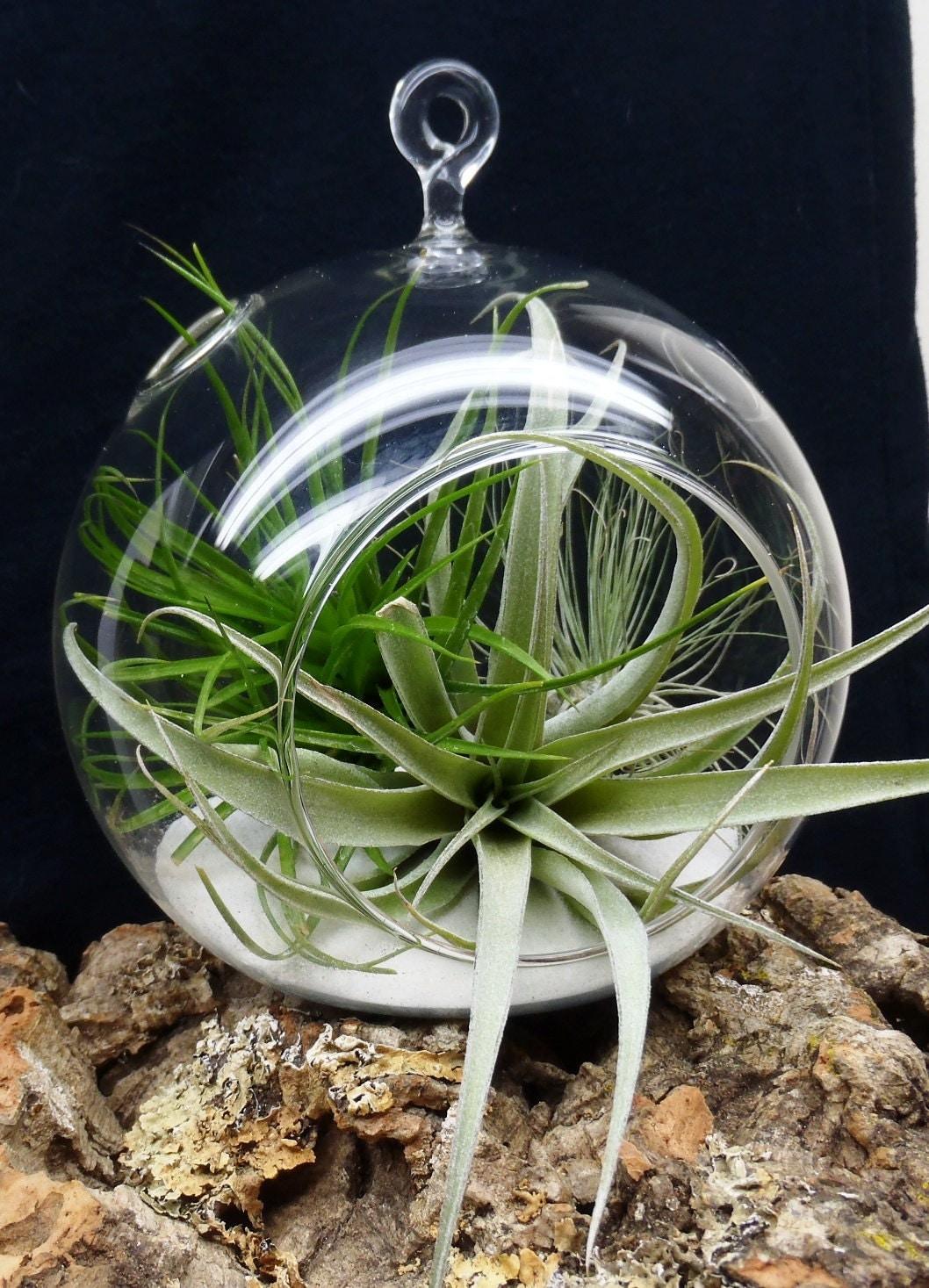 hanging air plant terrarium tillandsias in glass globe. Black Bedroom Furniture Sets. Home Design Ideas