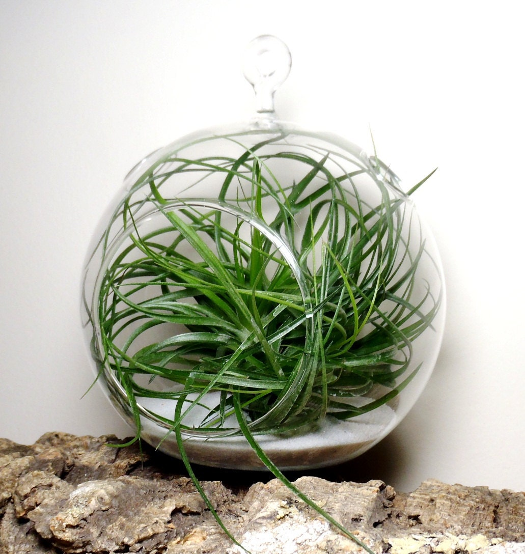 hanging air plant terrarium tillandsia in glass globe. Black Bedroom Furniture Sets. Home Design Ideas