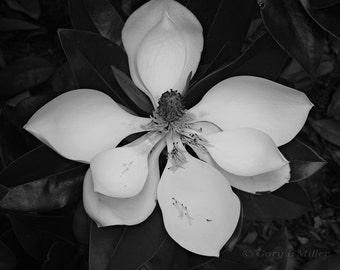 Magnolia - Fine Art Print - Black and White - 8x10