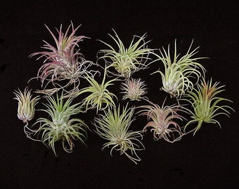 Airplants-10 Different Forms of Tillandsia ionantha-Easiest Airplant to Grow