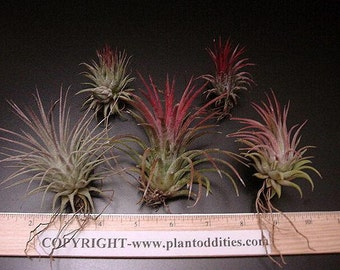 10 Airplants/Tillandsias-10 Assorted  Plants-The Easiest Airplant to Grow