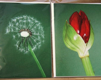 Botanical art note cards, pack of 2, size A6; Hippeastrum and dandelion clock