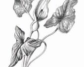 Calla Lily - Print