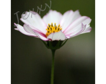 Cosmos No.5 - square fine art photographic print