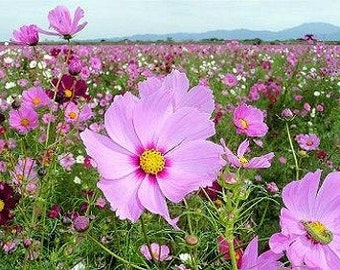 Heirloom 600 Seeds Garden Cosmos bipinnatus Cosmea Wild Mexican Aster Flower Bulk Seeds A0002