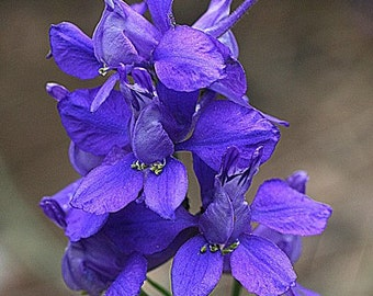 Heirloom 900 Seeds Consolida Orientalis Larkspur Knight's Spur Delphinium Flower Seeds B0040