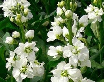 Heirloom 500 Seeds Matthiola incana Night scented Evening Stock Gilly Flower white Bulk Flower Seeds B6087